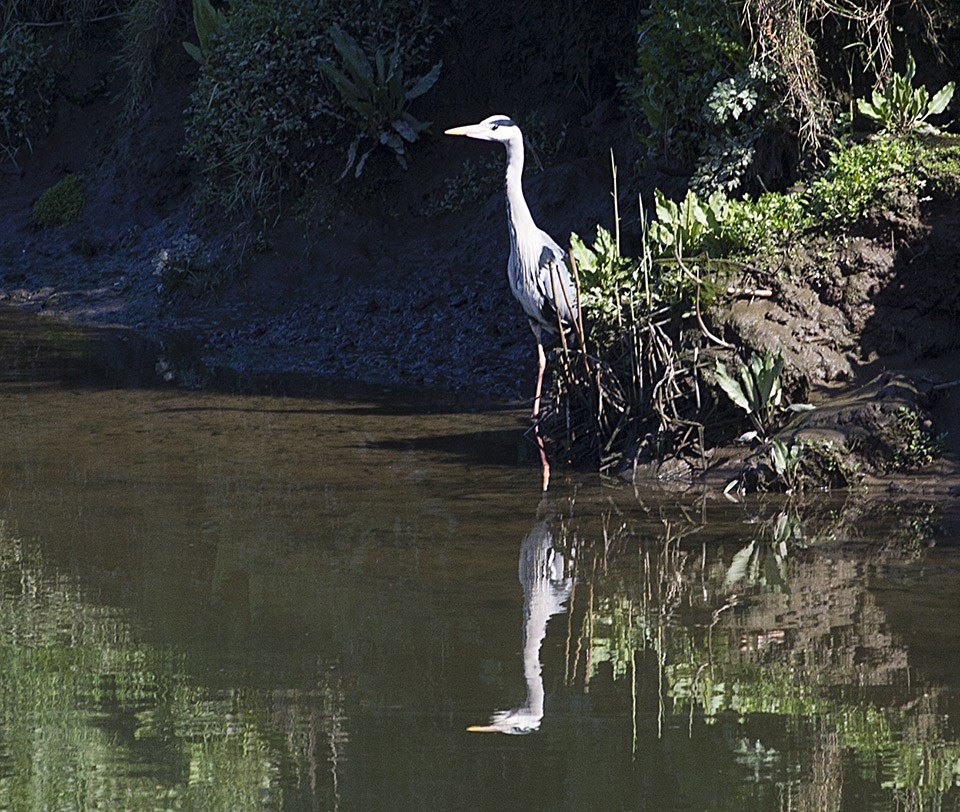 A heron in the Blackwater just up from the distillery.