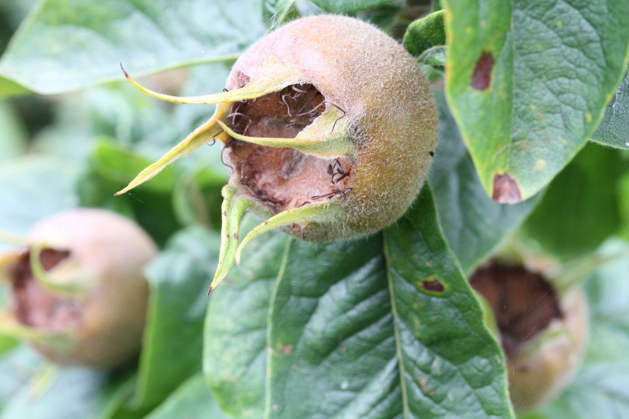 Monastic Medlars have to rot or 'blet' before being used